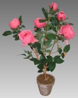 Tmavoružová ruža v kvetináči_1