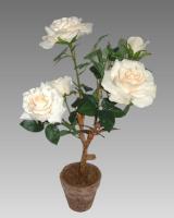 Biela ruža v kvetináči_1