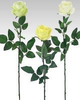 Ruža, 70cm / 6ks_1