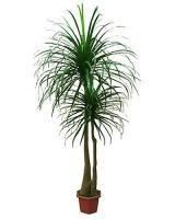 Umelá palma Dracéna v kvetináči, 220cm_1